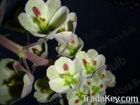 Fritillaria Ivory Bells