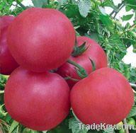 Pink Flavor Tomato