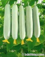 Cucumber White moon F1