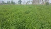 Rhodes grass