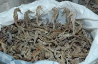 Dried Sea Horse From Greece High Quality
