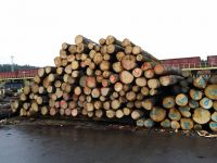 We offer Radiata Pine Logs 18+ cm