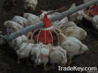Poultry Automatic Feeding System for Poultry Farm Equipment