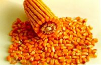 Yellow Maize & Yellow Corn