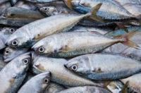Fresh Mackerel,mackerel,frozen mackerel,frozen mackerel