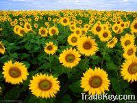 Export Refined Sunflower Oil | Pure Sunflower Oil Suppliers | Refined Sunflower Oil Exporters | Refined Sunflower Oil Traders | Refined Sunflower Oil Buyers | Pure Sunflower Oil Wholesalers | Low Price Sunflower Oil | Best Buy Sunflower Oil | Buy Sunflowe
