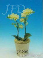 Orchid pland /phalaenopsis