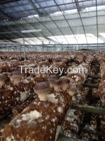shiitake mushroom log 808