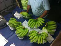 Philippine Fresh Cavendish Banana