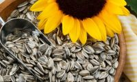Sunflower Seeds Raw/ Fresh/ Dried