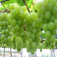 Grape  Fresh Grapes