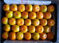 chinese fresh mandarin orange