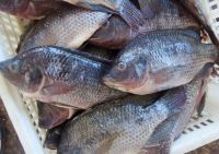 Frozen Ocean Fish Seafood Skinned Fillet From Fresh Tilapia and Mackerel