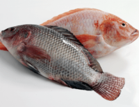 Frozen Organic Tilapia Fish Fillet Products With Types Specifications