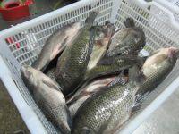 Frozen Tilapia Fish Fillet,Frozen Tilapia Boneless Fish Fillet
