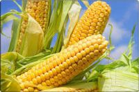 Fresh Yellow Corn & Yellow Maize