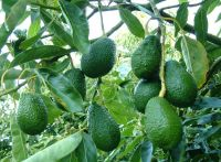 Fresh Fruits such as : Apples, Pineapples, Avocados, Mangoes, oranges, lemon. ....