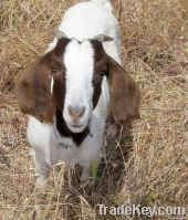 We Sell goats and Other Animals meat