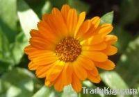 Marigold Extract