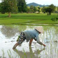 Long Grain White Rice 25% Broken