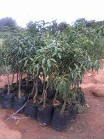Mango Plant & Trees