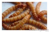 Natural Bird and Fish Food Mealworm