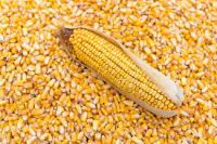 Yellow Corn , Barley  , Wheat , Peas , Lentils , Chickpeas