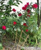 Bambo ladder / bamboo stick for clematis