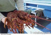 Fresh Delicious Lobster