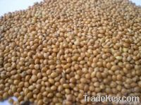 yellow millet in husk