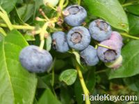 sycamorebranch berries