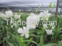 Fresh cut orchids, natural orchids flower plants