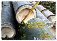 giant big bamboo