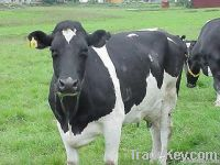 Dairy cattle and Holstein heifers