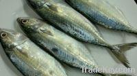 Frozen Seafood And Fish | Mackerel Fish | Salmon Fish | Ribbon Fish
