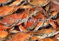 Live Frozen red king crab