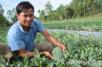 Watermelon Viet Nam