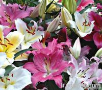 Oriental or Asiatic Lilies