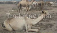 live cattle, live Camel , live sheep, live goat , livestock