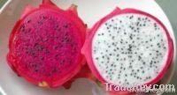 Dragon Fruit Nursary