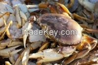 Live DUNGENESS CRAB/Mud Crab/blue swimming crab