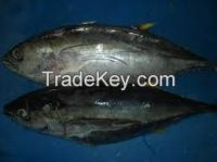 Frozen Yellowfin Tuna Whole round and Gilled & Gutted
