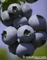 Blueberry Plants for sale in India