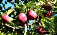 Apple Golden / Kala klu