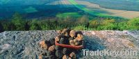 Fresh Istrian black truffles