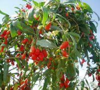 Dried Ningxia goji berries