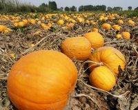 Edible High Quality Pumpkin Seed