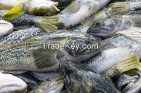 Notothenia fish