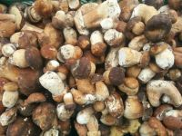 OYSTER MUSHROOMS AT GOOD PRICE