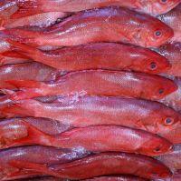 Fresh frozen grouper fish